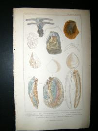 Cuvier C1835 Antique Hand Col Print. Shells #32A